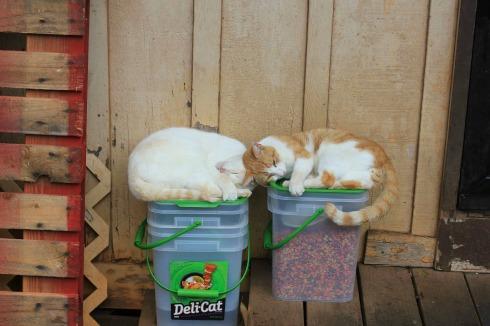 matsumoto shave ice cats